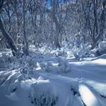 Snow covered trees in Namadgi national Park