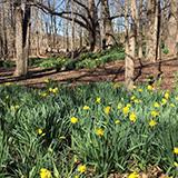 Sherwood daffodils