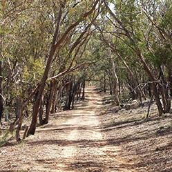Dirt walking track through trees along Track 5, Gunghalin